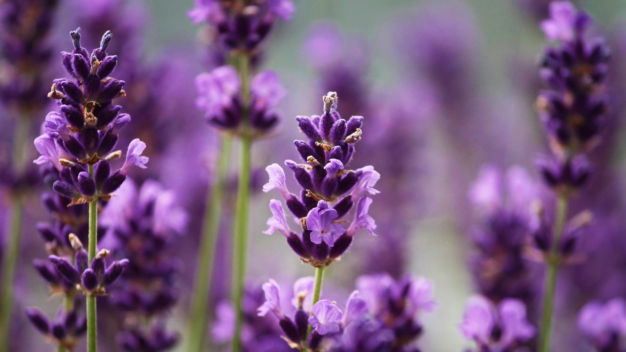 https://cbdguideaustria.com/wp-content/uploads/2019/02/lavendel-blueten-1280x720.jpg