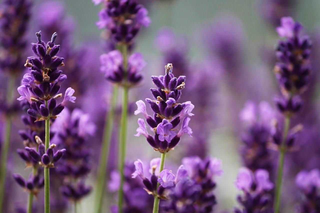 https://cbdguideaustria.com/wp-content/uploads/2019/02/lavendel-blueten-1280x853.jpg