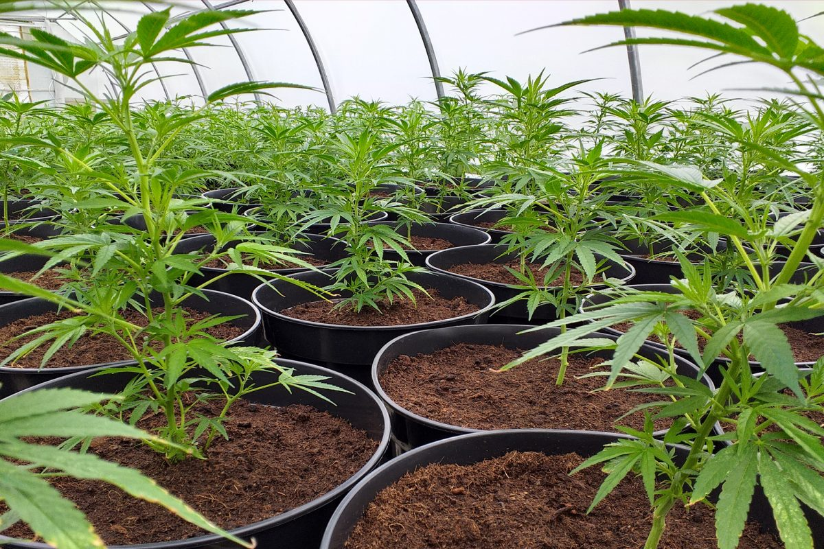 Deine eigene Hanfpflanze für dich angebaut.